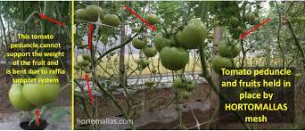 trellising hydroponic tomatoes with hortomallas grow netting