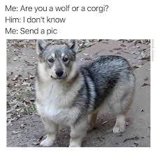 Angry Wolf Meme - dopl3r com memes me are you a wolf or a corgi him i dont