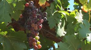 Tolay Pumpkin Patch Petaluma by Sonoma County California Wineries Events And More