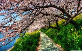 cherry blossom wallpaper 2880x1800 42442