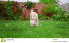 white poodle dog sniffing animal walking grass lovely pet on