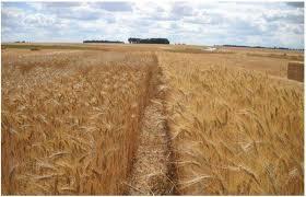chambre agriculture haute normandie le blé bio à l essai en normandie