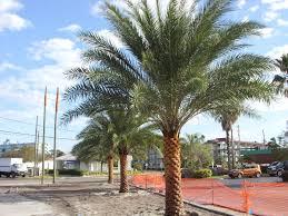 sylvester palm tree sale wesley chapel palm and tree sales wesley chapel lawn care