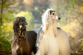 afghan hound breed breed profile afghan hound gilbertson and page dog cat and