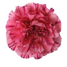 carnations flowers colibri flowers s a carnations