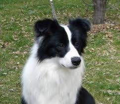 australian shepherd 3 mesi allevamento border collie due parchi happy days cuccioli di