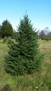 Christmas Tree Farm Va - peper u0027mint christmas tree farm