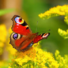 what makes a butterfly u0027s wings so colorful science abc