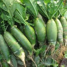 Green Root Vegetable - aliexpress com buy 100pcs rare green radish seeds chinese luobo