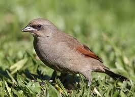 grayish baywing introduction neotropical birds online