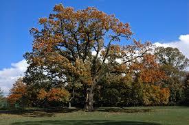 file oak tree in florham park nj jpg wikimedia commons