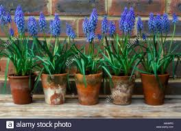 grape hyacinths muscari armeniacum in terracotta pots on shelf in