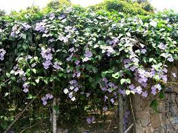 Climbing Plants That Flower All Year - thunbergia trellis cover tropical walkways pinterest black