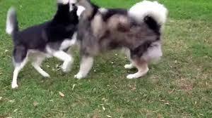 belgian shepherd x alaskan malamute siberian husky vs alaskan malamute youtube