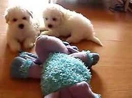 bichon frise puppy 8 weeks tired bichon frise puppies at 6 weeks old youtube