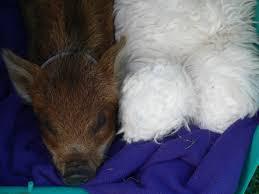 pet pigs archives mini pig tales