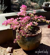 Winter Patio Plants by Container Gardening Growing Bougainvillea In Pots Ramblings