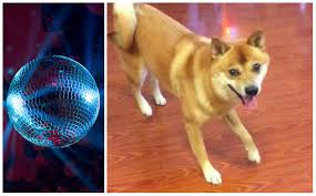 boxer dog vine 10 reasons the internet is obsessed with this dancing shiba barkpost