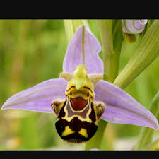 monkey orchid dracula simia monkey orchid uploaded by lukeyboythegardener