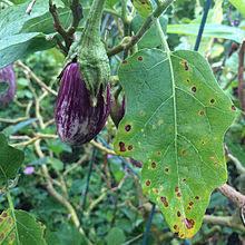 Plant Diseases Wikipedia - cercospora melongenae wikipedia