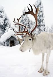 photo reindeer santa claus lapland finland father christmas