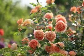 Flowers For Morning Sun - close sunlight petals sunrise rays garden life flowers roses