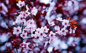 awesome free spring flowers photo free spring flowers wallpapers