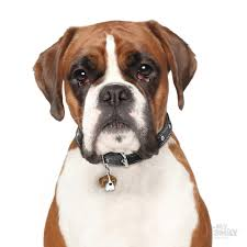boxer dog white white and brown boxer dog id tags myfamily