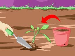 how to grow plumeria from cuttings 12 steps with pictures