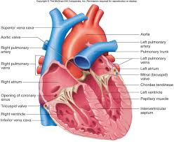 Gross Anatomy Of The Human Heart Diagram Of Heart Semilunar Valve Periodic Tables