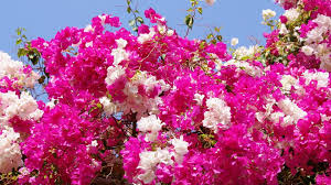 flower nice flowers pink blooming flower wallpapers photos for hd