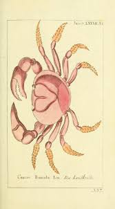 660 best crabs images on pinterest crabs drawings and animals