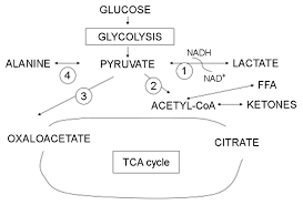 simultaneous determination of plasma lactate pyruvate and ketone