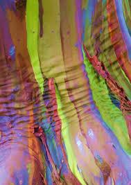 closeup of the bark of a rainbow eucalyptus tree not photoshopped