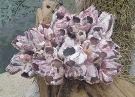 extra large clump of natural purple barnacles cluster sculpture 12