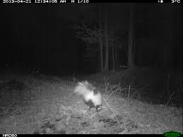 striped skunk foraging