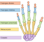 <b>Falange</b> – Wikipédia