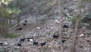 Rugged Landscape Herd Of Tibetan Yak Bos Grunniens Walking Through The Rugged
