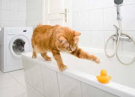 Cat In Bathtub Is Your Cat Your Bathroom Buddy Catster