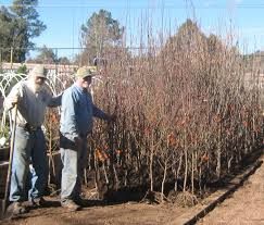 tips for planting bare root trees best trees to plant