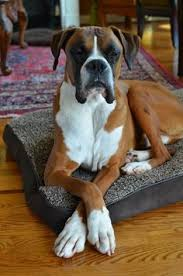 boxer dog funny did you say there u0027s no dinner this evening u0027 funny boxer dog