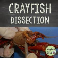 basic biology crayfish dissection by gnature with gnat tpt