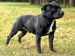 american pitbull terrier vs amstaff what u0027s the difference between the american staffordshire terrier