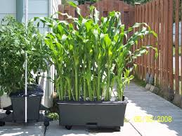 Container Gardening Peas - 17 container gardening peas herb garden in containers bonnie