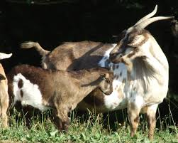 slow food usa tennessee fainting goat