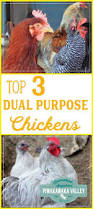 Can You Have Chickens In Your Backyard Top 3 Chicken Breeds For Your Homestead Beginner Backyard Breeds