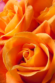orange roses orange roses photograph by garry