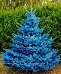 30 pcs bag blue spruce trees bonsai blue spruce seeds picea