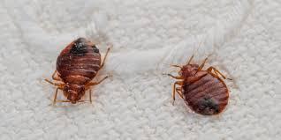 Bed Bug Nest Pictures Bed Bug Exterminator Quest Pest Control Allentown Pa