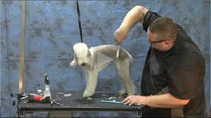 feeding a bedlington terrier grooming the bedlington terrier part 1 of 2 part series